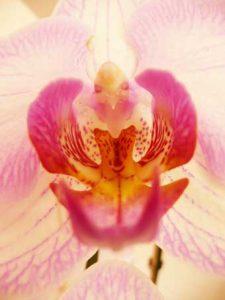 sabine lamarche -newsletter- orchidee rose