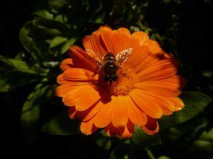 sabine lamarche - newsletter- calendula et abeille