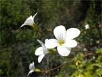 fleur-blanche-nl-avril13