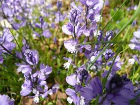 sabine lamarche - newsletter- fleurs-bleues