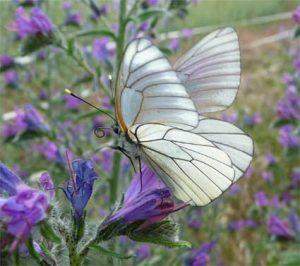 sabine lamarche - newsletter- papillon blanc sur fleur violette