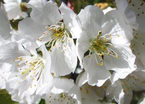 sabine lamarche - channeling - fleurs cerisier