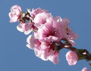 sabine lamarche - channeling - fleurs pommier
