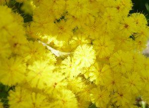 sabine lamarche - témoignages - mimosa