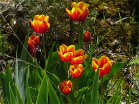 sabine lamarche - newsletter- tulipes