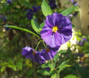 sabinelamarche-newsletteroct16-fleur-violette